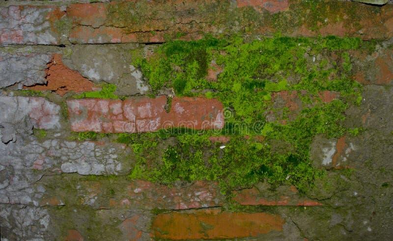 Mossa på en tegelstenvägg arkivbild