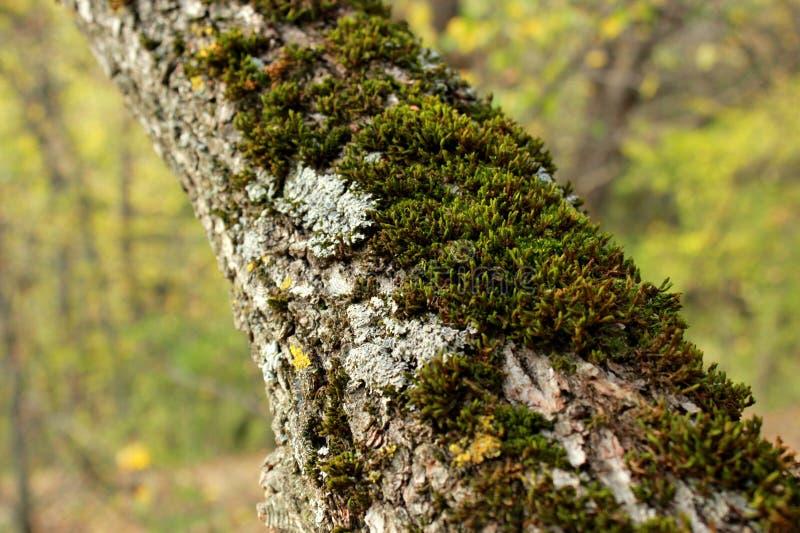 mossa på en trädstam som går i skogen royaltyfri bild