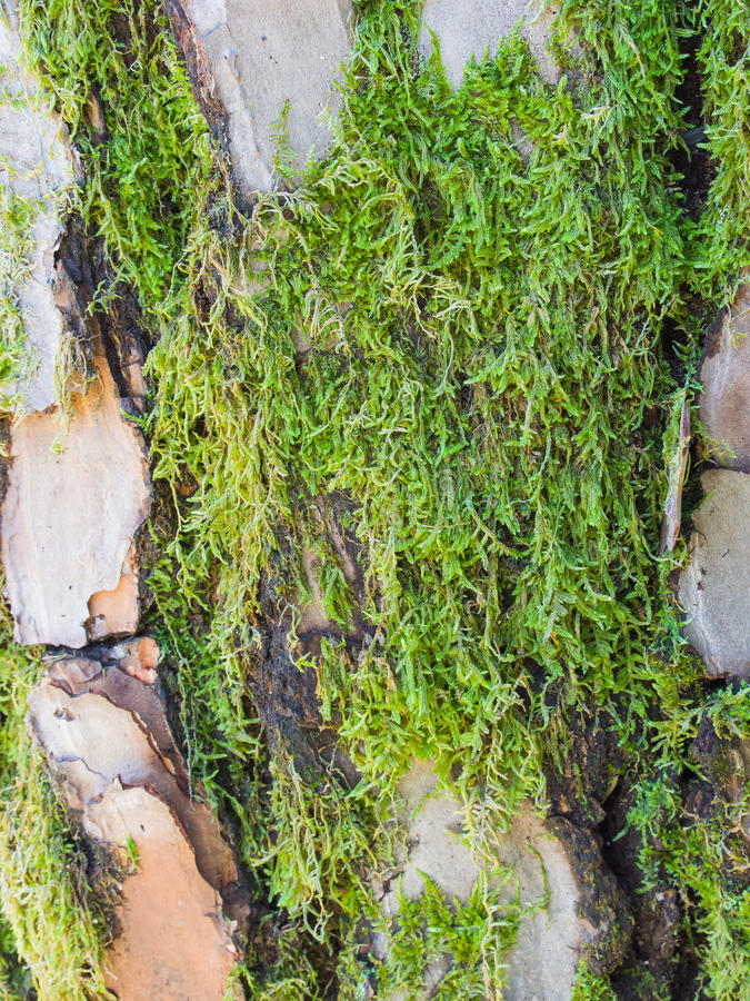 Mossa på grått rödaktigt skäll av en sörjastam royaltyfria foton