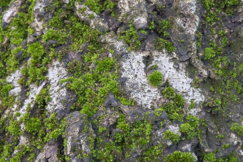 Mossa på trädbakgrund Gammalt fuktigt trä med grön mossig textur arkivbilder