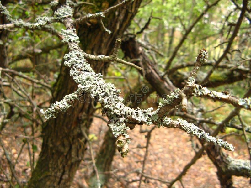 Mossa-skadade träd arkivbilder
