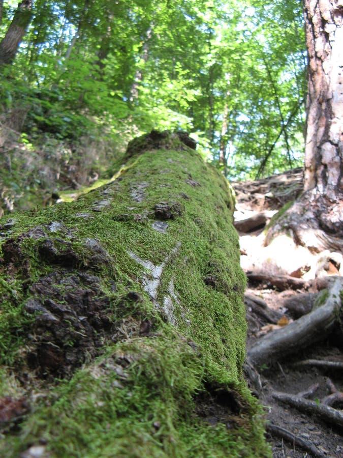 Mossa-skadade träd i snittet royaltyfri fotografi