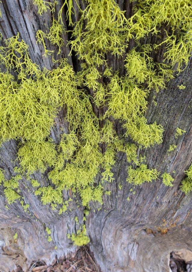 Mossa som är fullvuxen på gammal trädstubbe arkivbild