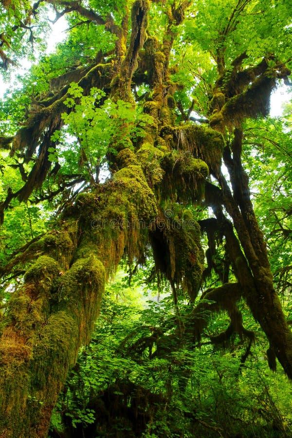 Mossa som hänger från olympisk nationalpark för träd royaltyfri bild