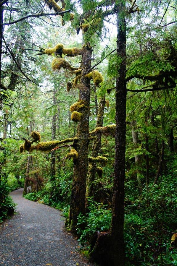 Mossa täcker trädfilialer på den lösa Stillahavs- slingan, Ucluelet, British Columbia, Kanada arkivfoton