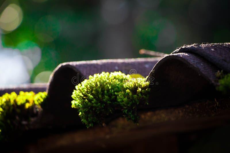 Mossagräsplan på solljus för takkabinväxt arkivfoton