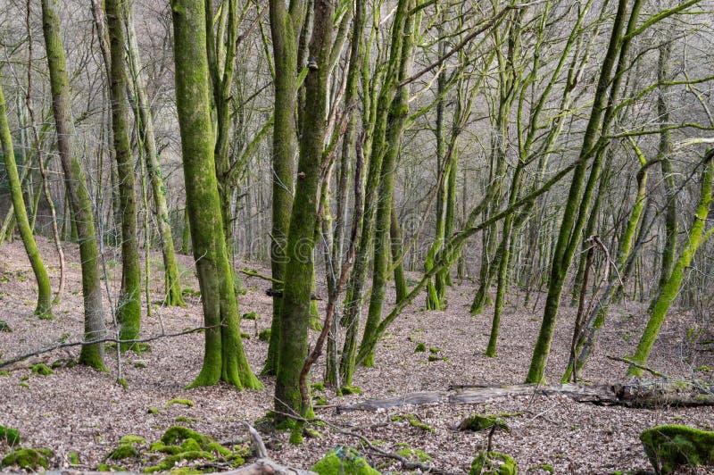 Mossaträd i vinterskog royaltyfri foto