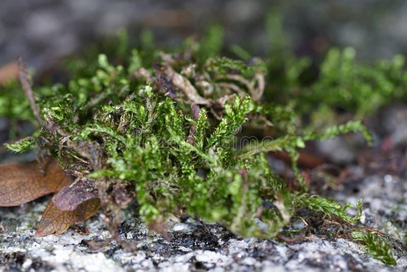 Mossen zijn groene landplanten, die gewoonlijk geen ondersteunend en geleidend weefsel vormen royalty-vrije stock afbeeldingen