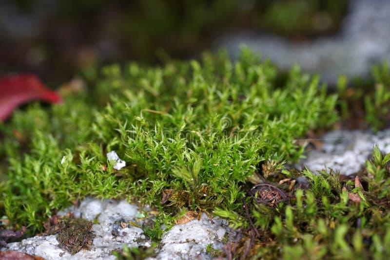 Mossen zijn groene landplanten, die gewoonlijk geen ondersteunend en geleidend weefsel vormen stock afbeelding