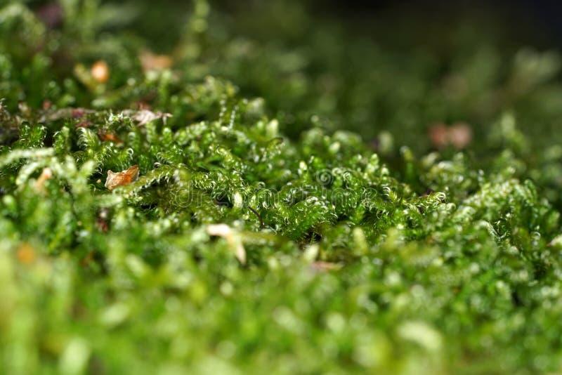 Mossen zijn groene landplanten, die gewoonlijk geen ondersteunend en geleidend weefsel vormen stock afbeeldingen