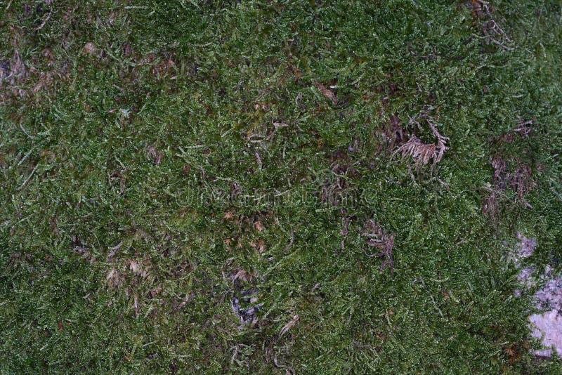 Mossen zijn groene landplanten, die gewoonlijk geen ondersteunend en geleidend weefsel vormen royalty-vrije stock afbeelding