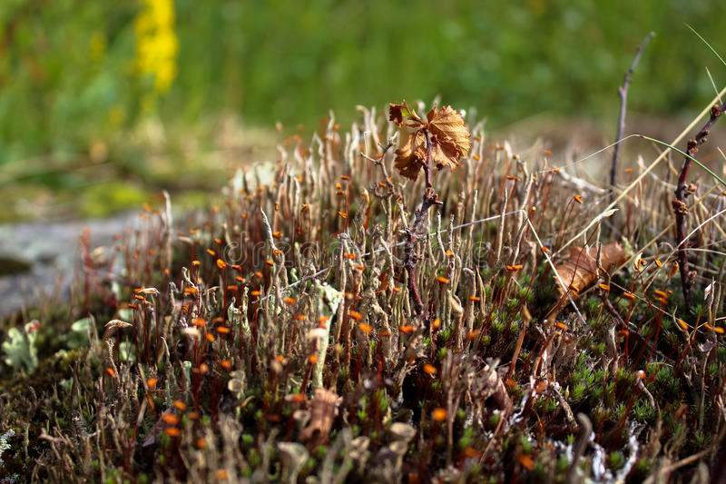 Mosses and lichens royalty free stock images