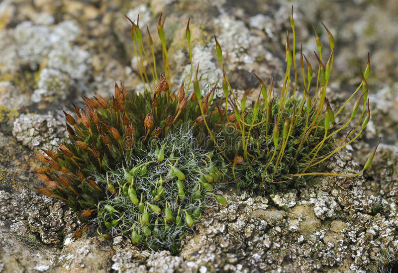 Mosses on limestone wall. Mosses on Cotswold limestone wall Grey-cushioned Grimmia - Grimmia pulvinata Wall Screw-moss - Tortula muralis Anomalous Bristle-moss stock photo