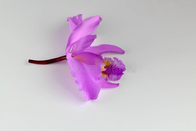 Mossiae de Cattleya, orqu?dea venezolana, fondo blanco fotografía de archivo libre de regalías