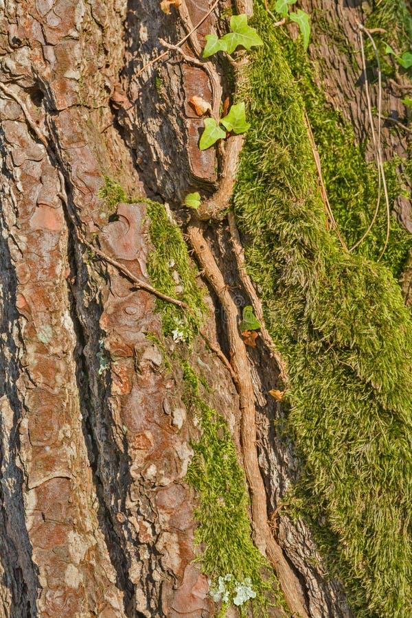 Mossig skälltextur för gammalt träd arkivbilder
