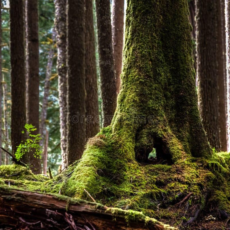 Mossig trädstam med ett hål att du kan se hela vägen igenom i Hoh Rain Forest royaltyfri foto