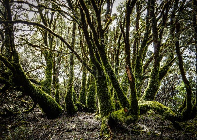 Mossiga träd Magisk skog arkivfoton