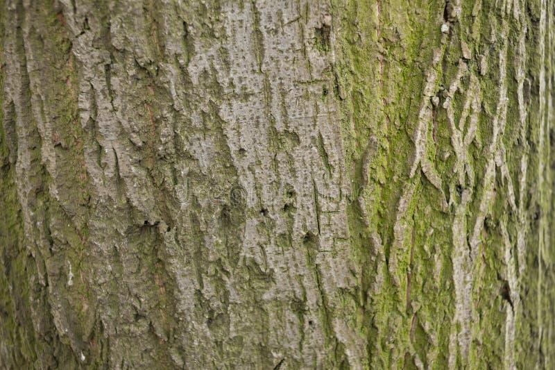 Mossigt trädskäll arkivfoton