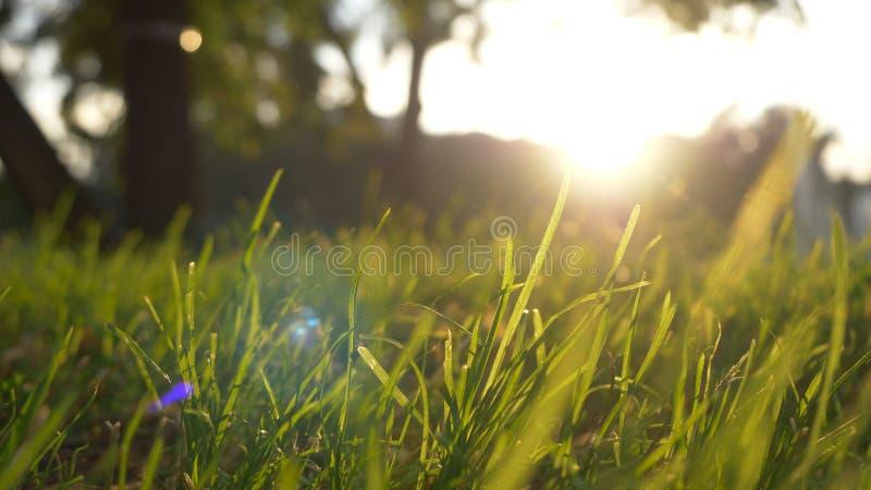 Mosso del prato dell'erba di estate di vento piacevole con luce solare luminosa, fondo soleggiato della molla immagine stock