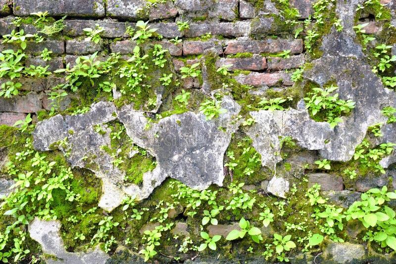 Mossor och gröna växter som växer på den gamla tegelstenväggen arkivfoton