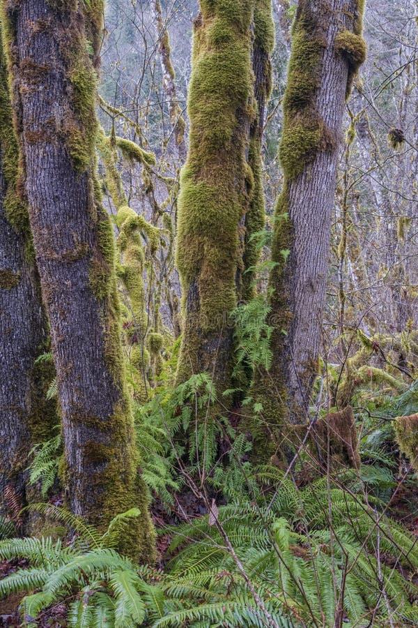 Mossy árboles en el bosque del estado de Oregón imagenes de archivo