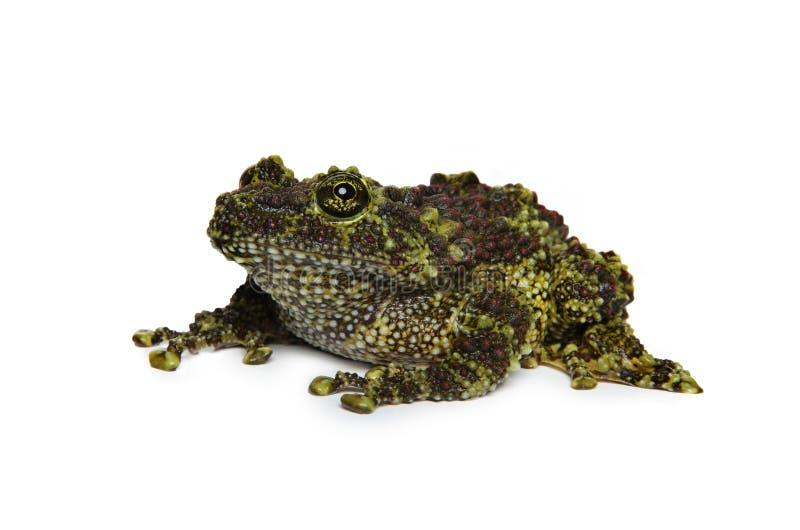 Mossy βάτραχος στο άσπρο υπόβαθρο στοκ φωτογραφία