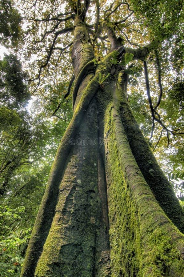 Mossy κορμός δέντρων σύκων, άποψη από κάτω από στοκ εικόνες