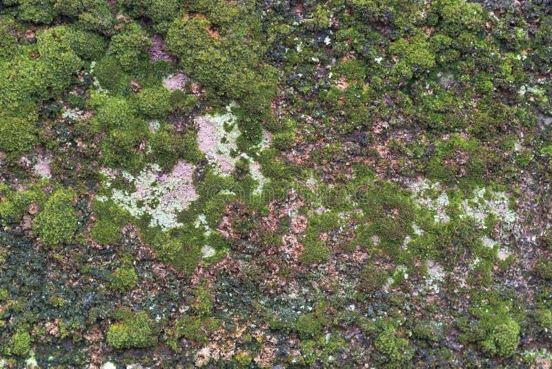 Mossy πράσινος στο υπόβαθρο τσιμέντου Mossy λεπτομέρεια στοκ φωτογραφία