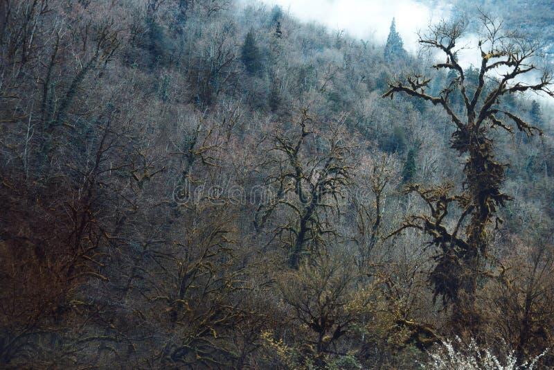Mossy Bäume in Abchasien wachsen auf großen Felsen stockbild