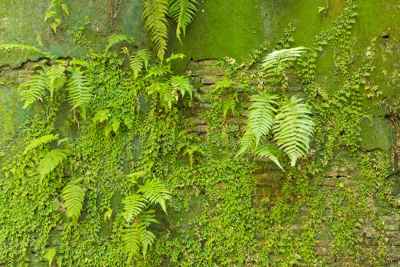 Mossy concrete wall. Greenery fresh mossy concrete wall royalty free stock photography