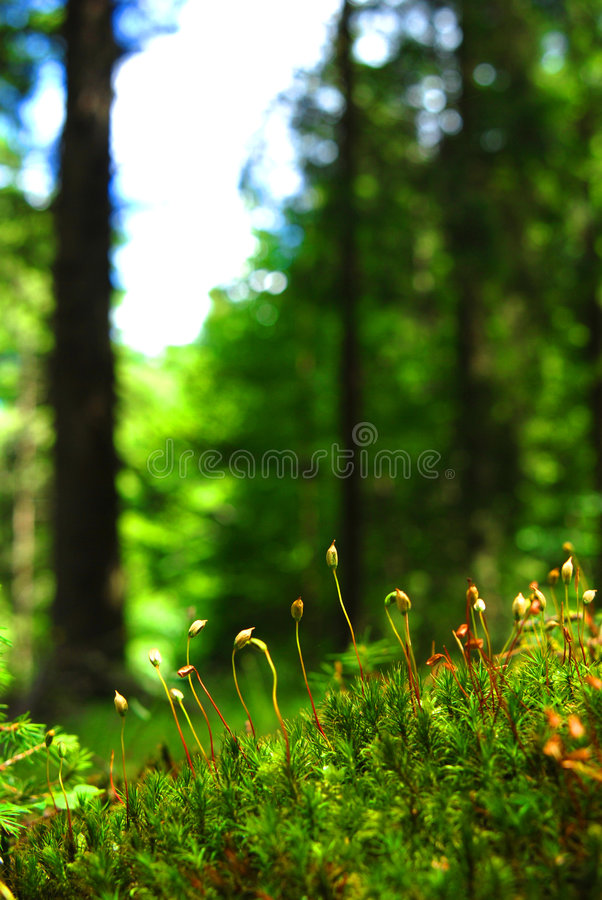 Mossy forest floor. Seedlings sprouting up through the mossy undergrowth in the foreground while a forest and sky is visible in the top part of image. Green stock images