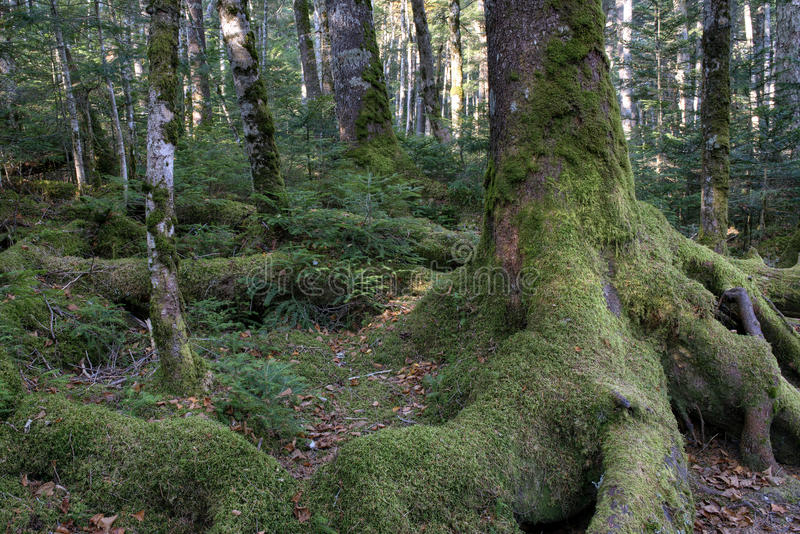 Download Mossy Forest stock photo. Image of marsh, spreading, forest - 34470256