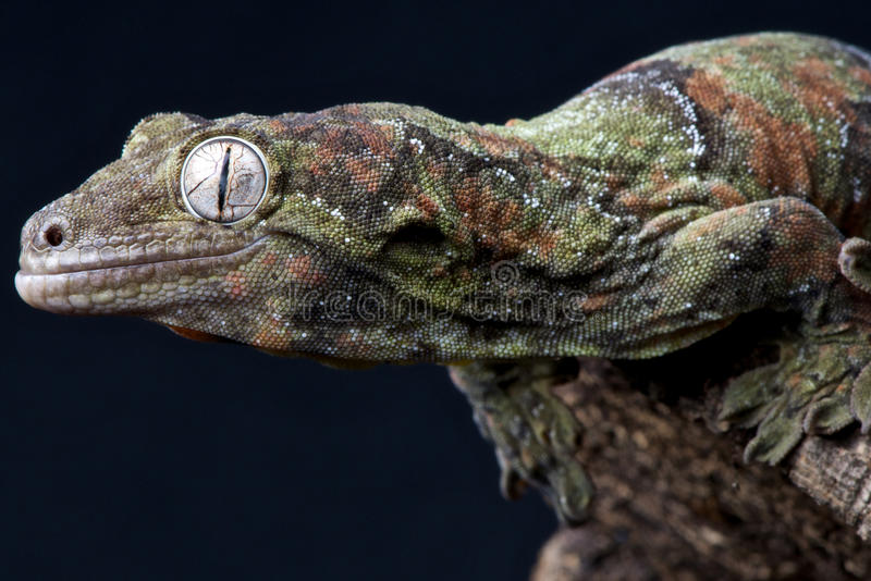 Mossy gecko royalty free stock photos