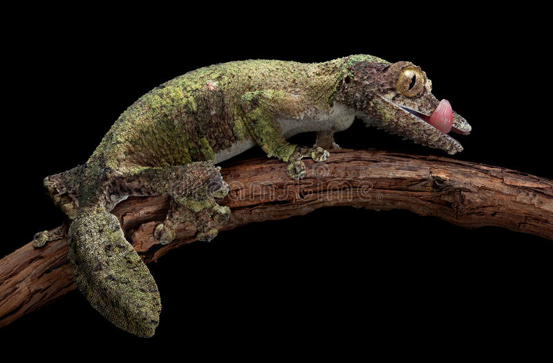 Mossy leaf-tailed gecko royalty free stock photo