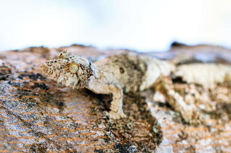 Mossy leaf-tailed gecko stock images