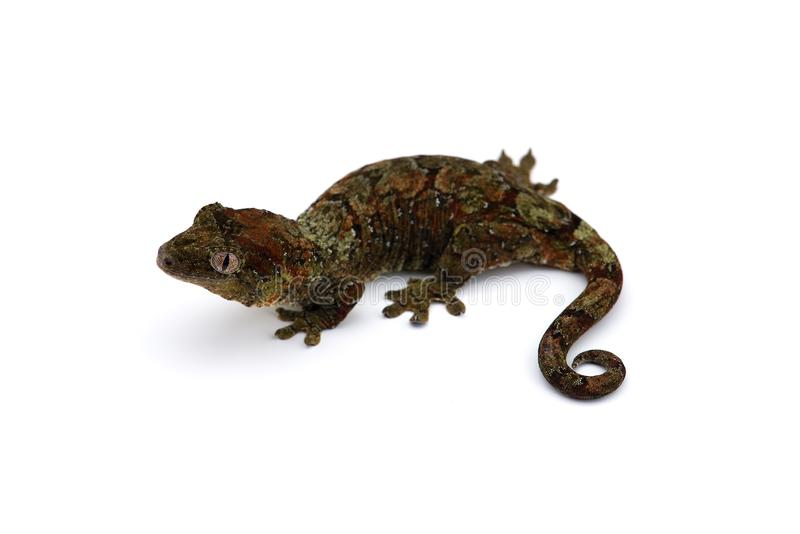 The mossy New Caledonian gecko isolated on white royalty free stock photography