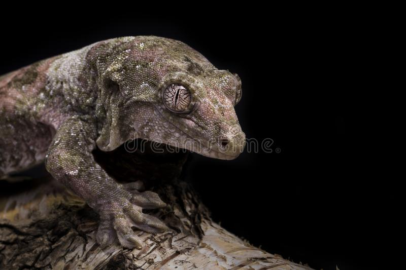 Mossy Prehensile-tailed gecko stock images
