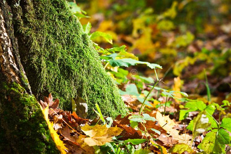 Mossy tree in forest in autumn royalty free stock photo