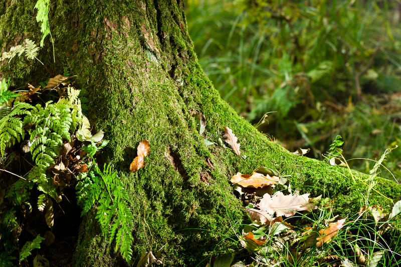 Mossy tree in forest in autumn stock photography