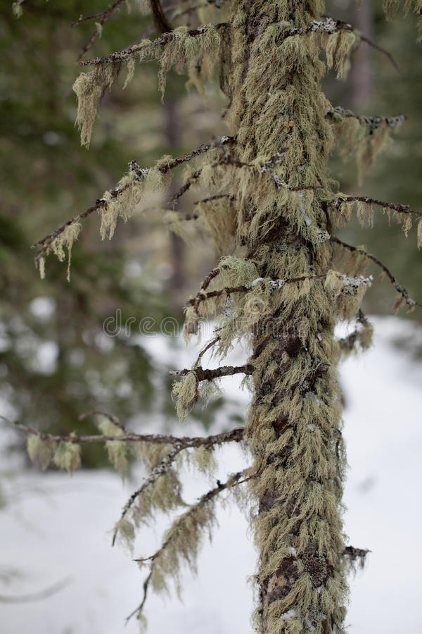 Download Mossy Tree stock photo. Image of snow, weather, branch - 38934382