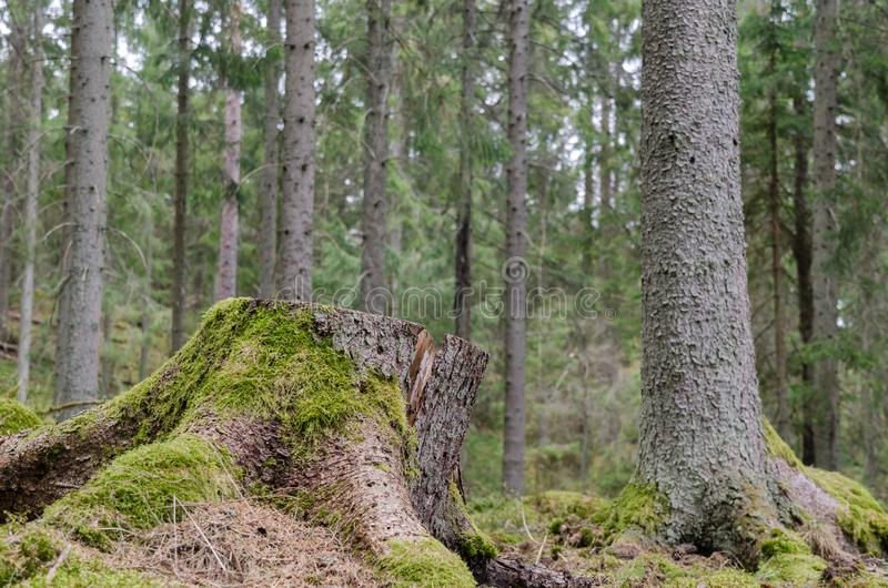 Mossy tree stump in a coniferous forest stock photo