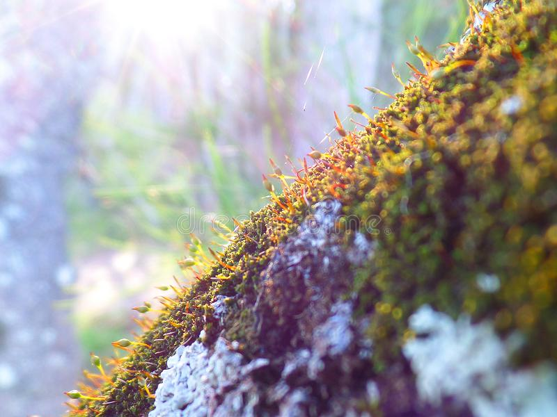 Mossy tree in the sunset stock image