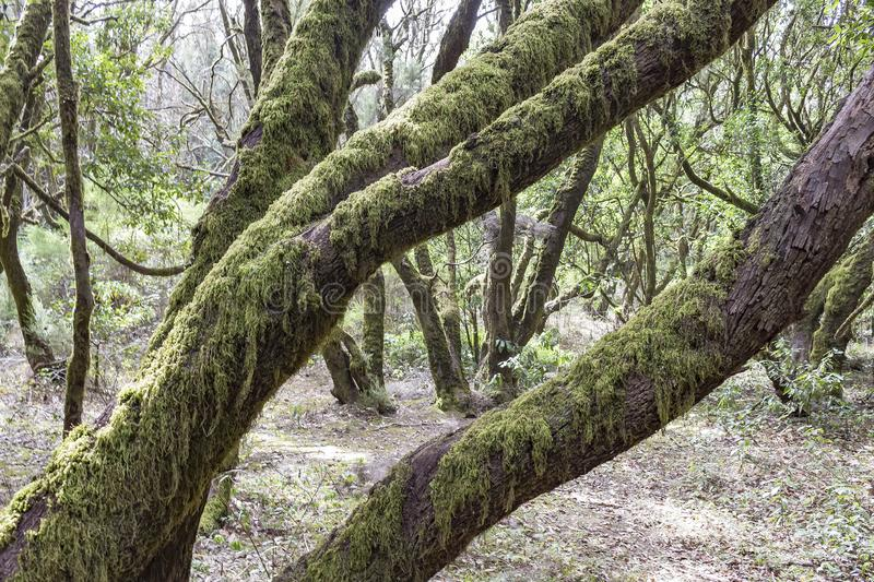 The mossy trees in the nature reserve Laguna Grande on the island of La Gomera near Tenerife, Spain royalty free stock photos