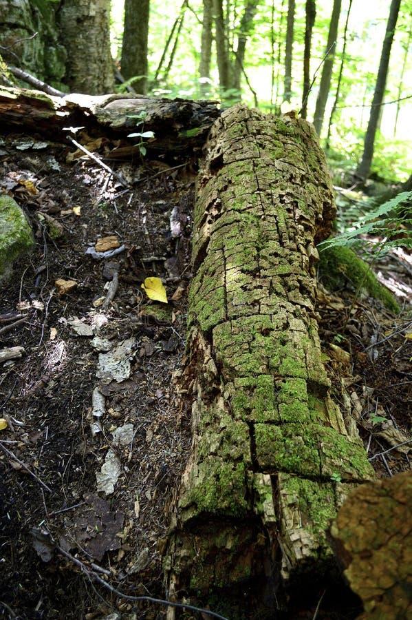 mossy treestam arkivfoto