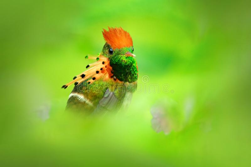 Most beautiful bird in the world. Tufted Coquette, Lophornis ornatus, colourful hummingbird with orange crest and collar in the gr royalty free stock images