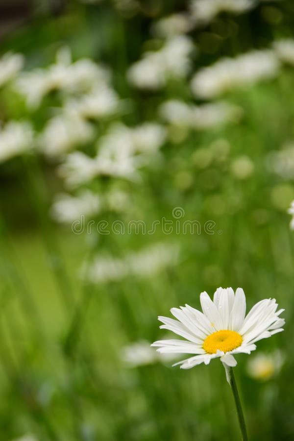 The most beautiful Daisy of the garden royalty free stock image
