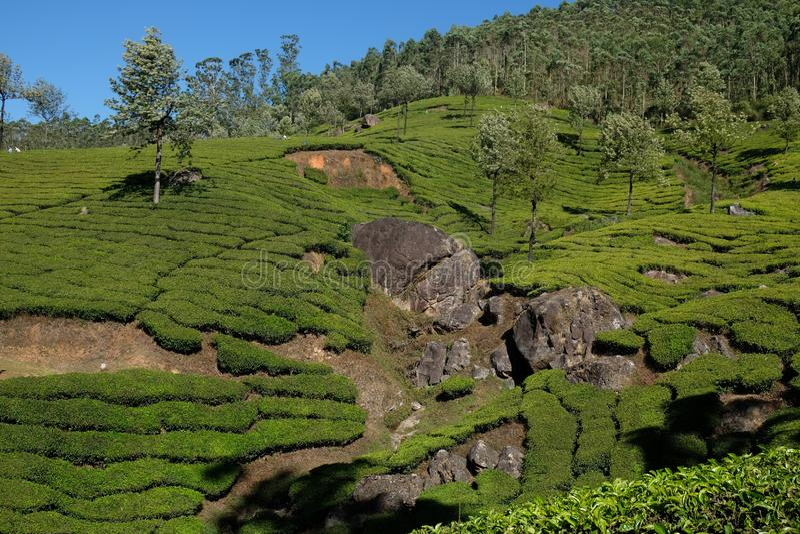 Tea plantations in Munnar, Kerala, India royalty free stock image