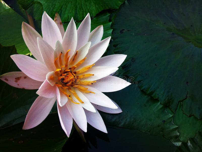 The most Beautiful Lotus Flower stock photo