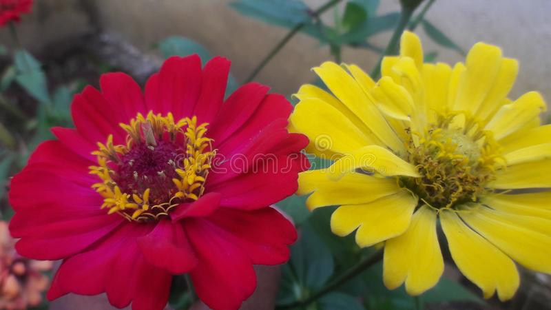 Red yellow beautiful tow flowers stock image