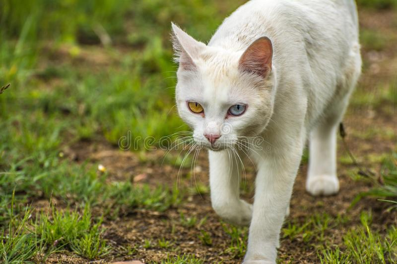 Most beautiful white cat of strange eyes of the world with a blue eye and a yellow eye feline form of heterochromia. Most beautiful white cat of strange eyes of royalty free stock photos